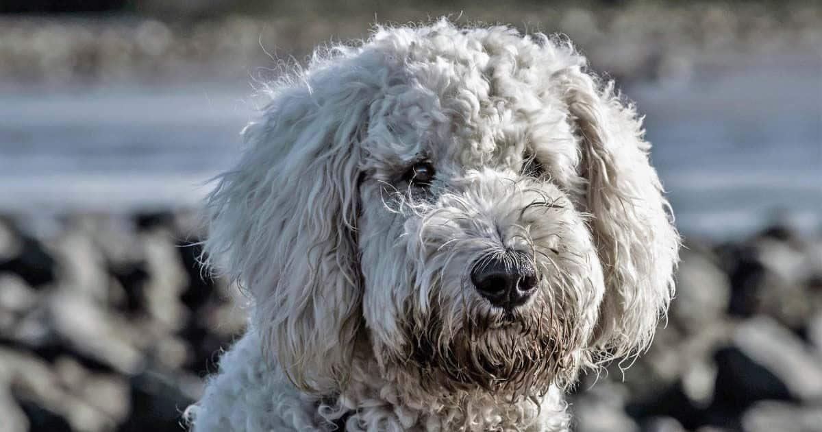 Los perros de agua se utilizan como terapia de ayuda para los niños con discapacidad