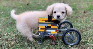 Gracie, perra con las patas delanteras hechas de Lego.