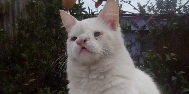 Chikistrikis, gato desaparecido