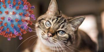 Coronavirus gato