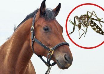 Horse virus EEE