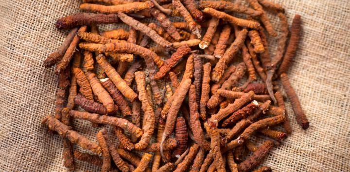 yarsagumba viagra del himalaya