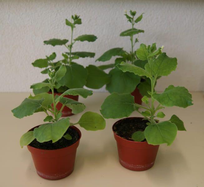 Nicotiana benthamiana covid-19