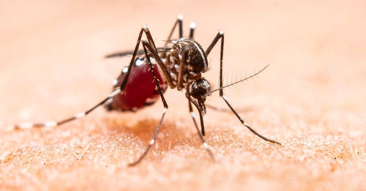 Mosquito que transmite el Virus del Nilo