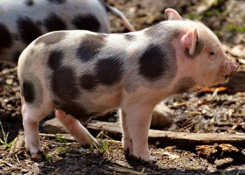 peste porcina africana alemania