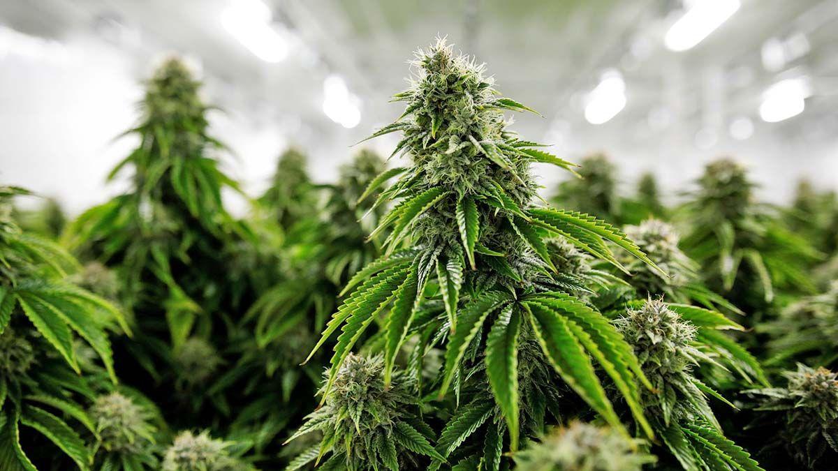 cannabis thc Tetrahidrocannabino coronavirus