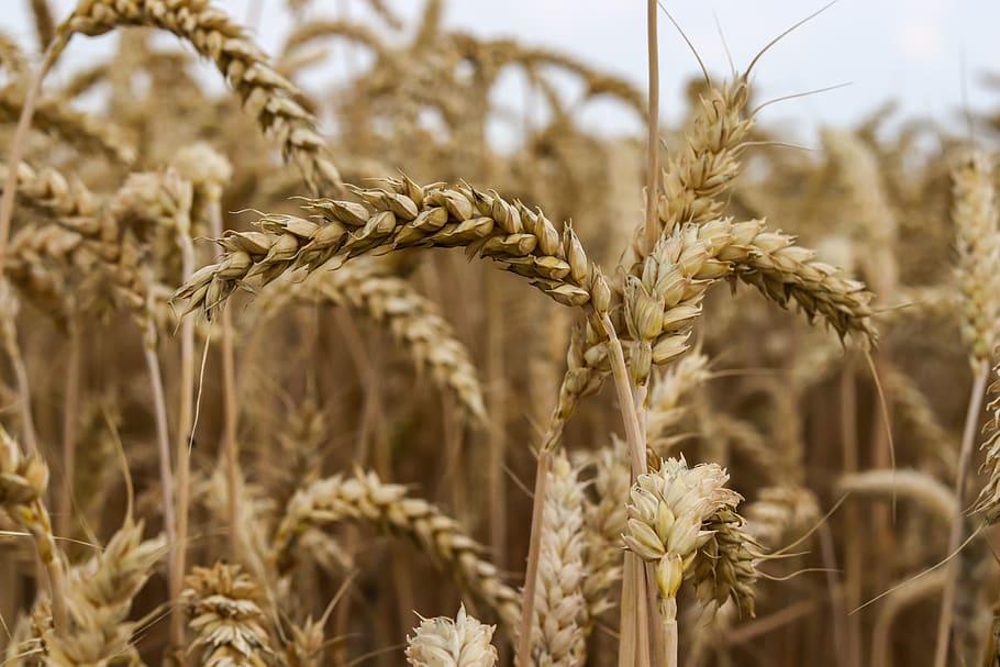 trigo beneficios cereal