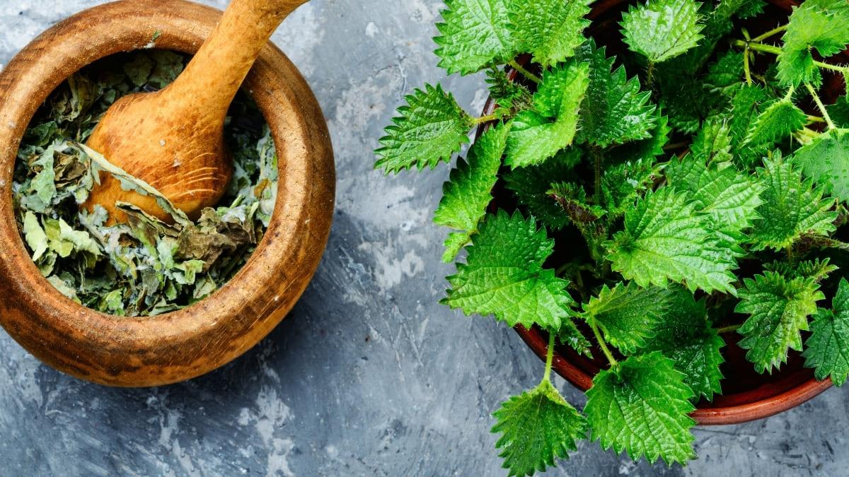 Remedios caseros ácido úrico - ortiga