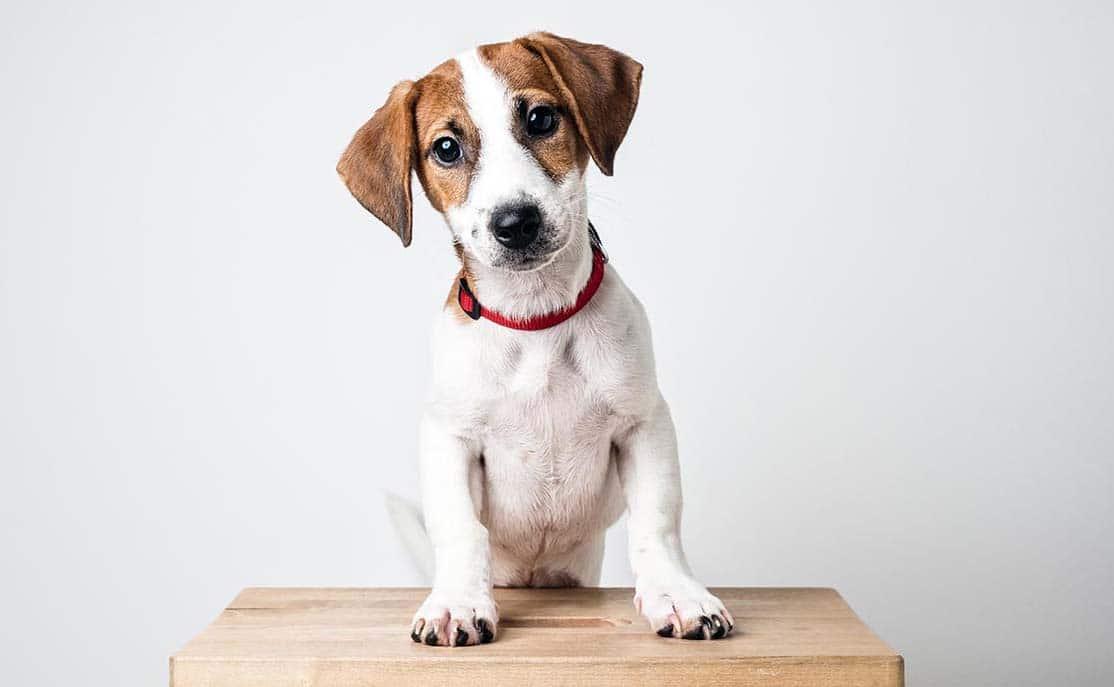 perro diabetes mascota