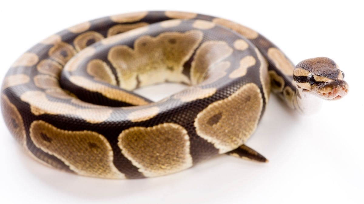 Soñar serpiente enroscada