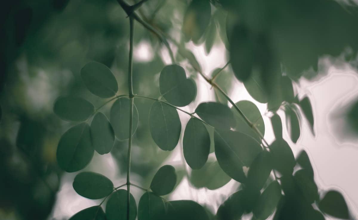 semillas y hojas de la moringa