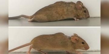 ratones parapléjicos vuelven a caminar