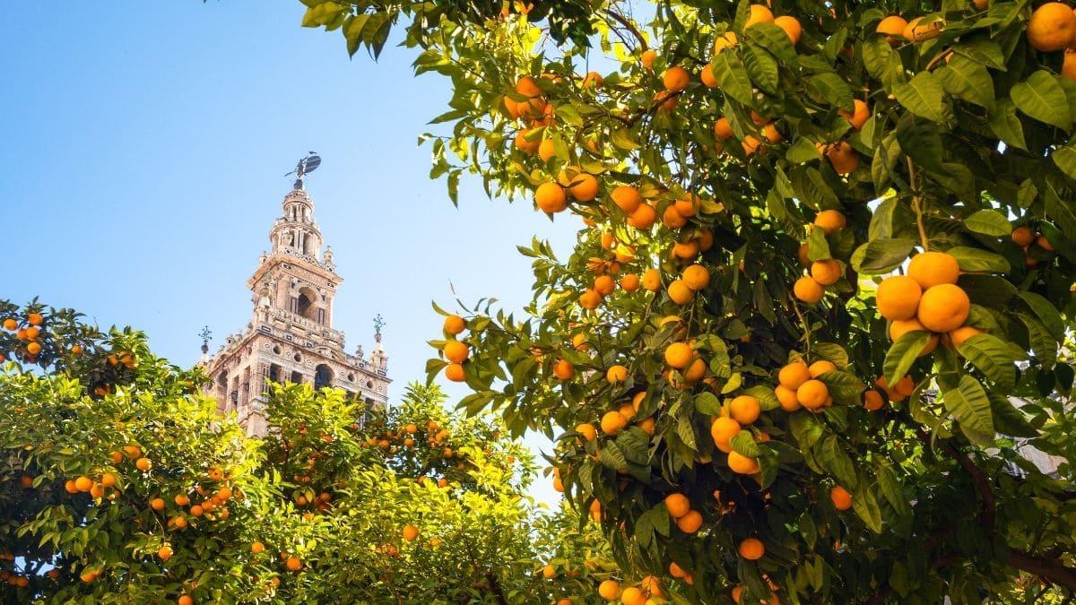 Naranjos Sevilla