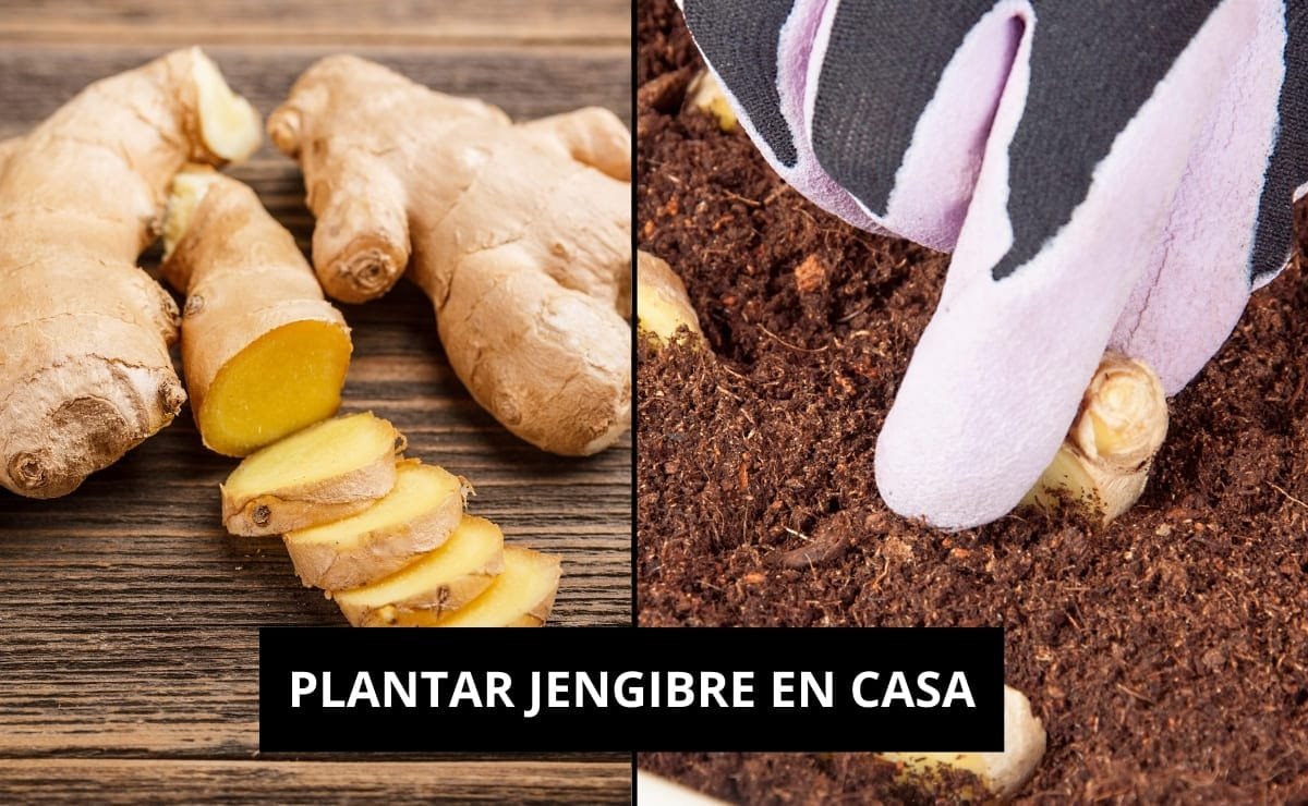 PLANTAR JENGIBRE EN CASA