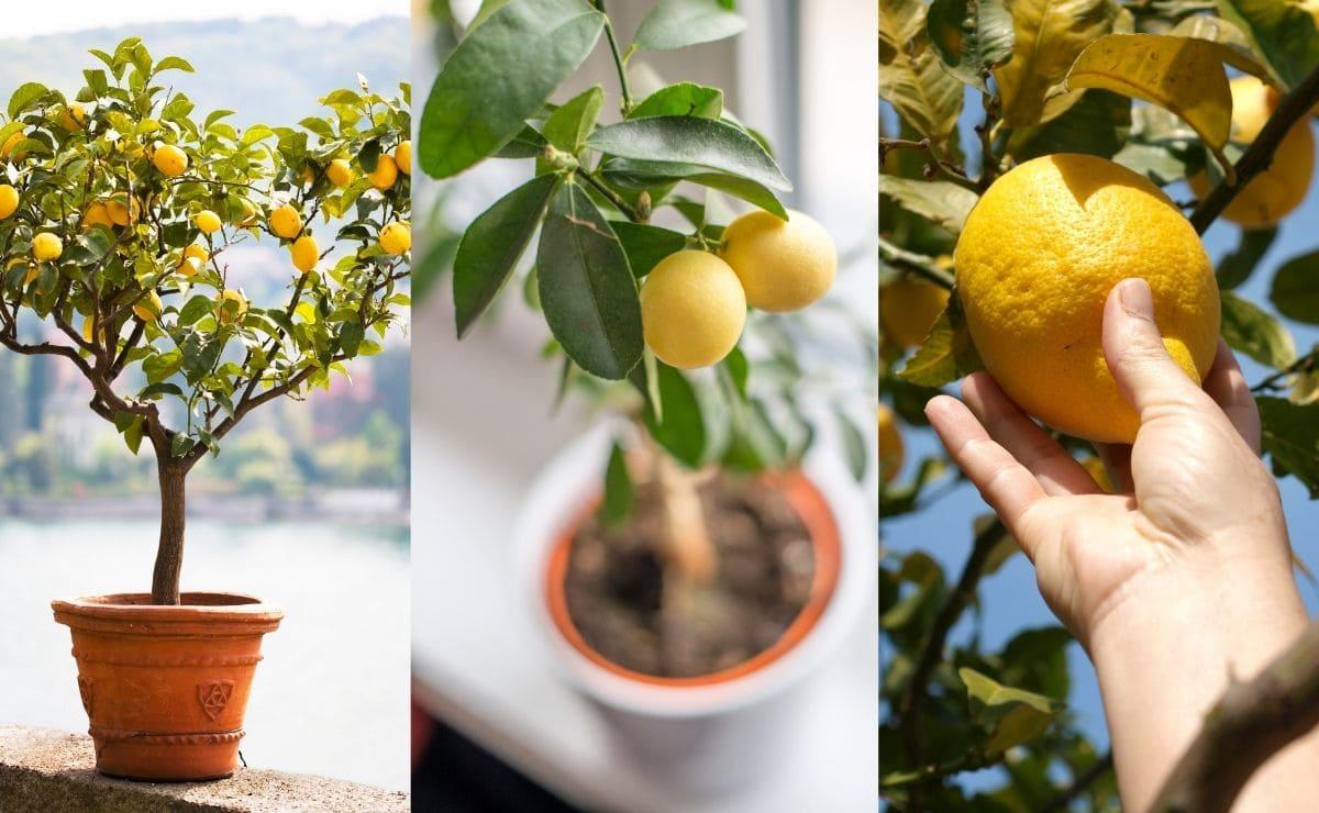 Limonero Plantas
