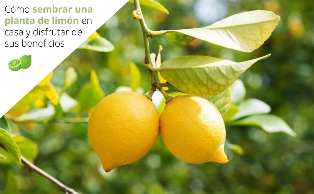 Cómo sembrar una planta de limón en casa y disfrutar de sus beneficios
