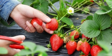 Fresas vitamina C primavera