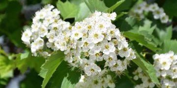 Espino blanco, planta con antioxidantes