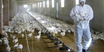 Gripe aviar | EFE