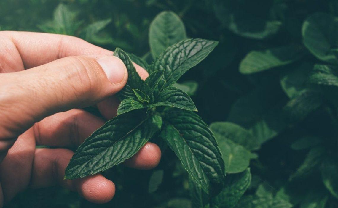 Principales beneficios de consumir hierbabuena para la salud