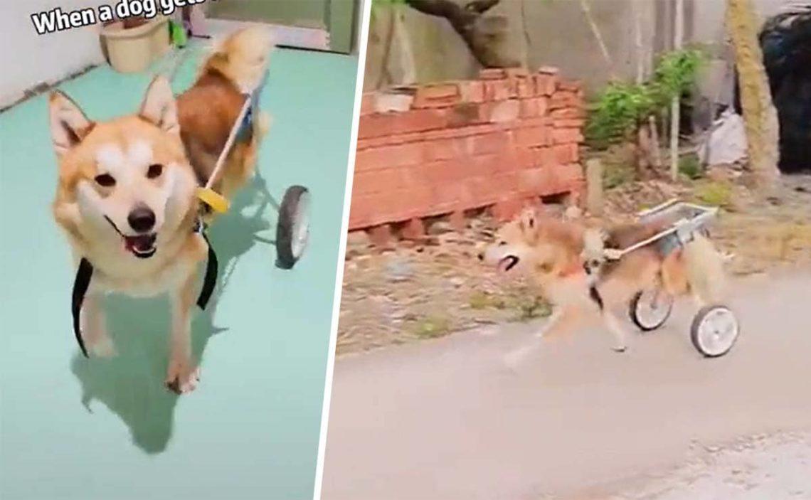 perro con discapacidad silla de ruedas