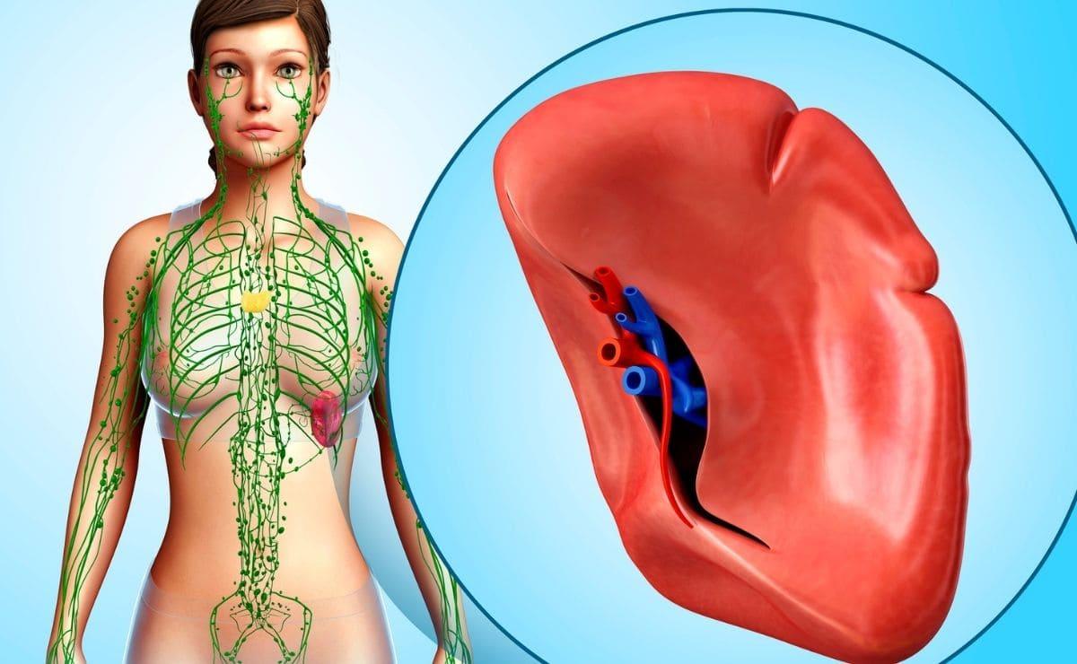 Bazo sistema inmune